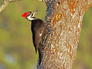 Pileated Woodpecker, Photo by Noël Lee