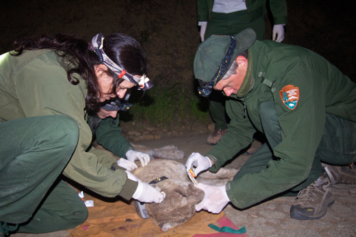 NPS researchers re-collar P-22 in late March 2014 and found him struggling with exposure to rodenticides and mange. Photo Credit: National Park Service