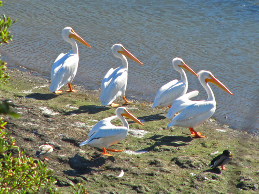 American White Pelicans at Briones Reservoir in the East Bay hills