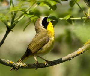 A common yellowthroat sings loudly while perched on a branch in Oregon's William L Finley National Wildlife Reserve. Photo: U.S. Fish and Wildlife Service