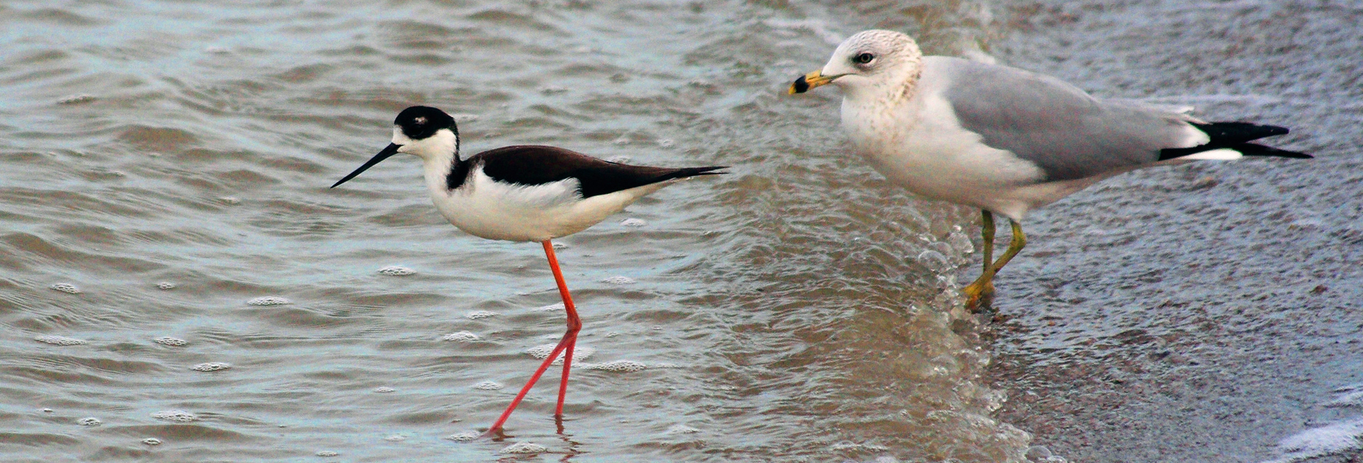 Two Black-necked Stilts and a Ring-billed Gull