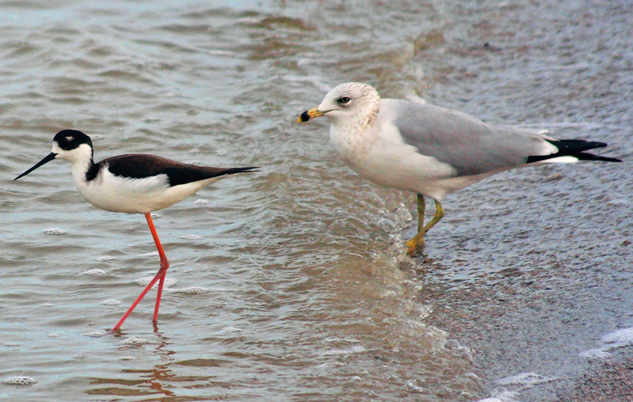 Black-necked stilt and a ring-billed gull at Salton Sea.