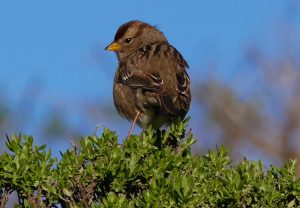 Immature white-crowned sparrow, Point Reyes National Seashore, Audubon Christmas Bird Count 2016. The Christmas Bird Count is the nation's longest-running citizen science bird project.