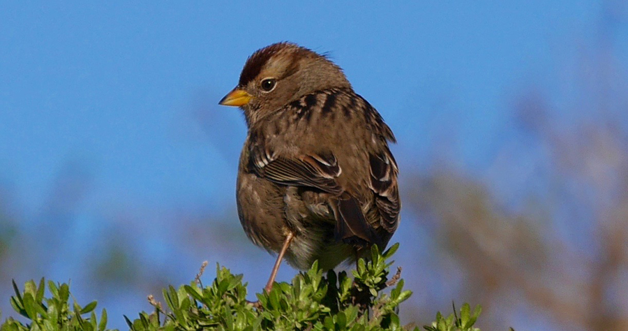 Immature white-crowned sparrow, Point Reyes National Seashore, Audubon Christmas Bird Count 2016. The Christmas Bird Count is the nation's longest-running citizen science bird project. Photo by Christine Sculati.