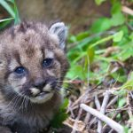 P 54 Mountain Lion Kitten, Santa Monica Mountains National Recreation Area. Credit: National Park Service.