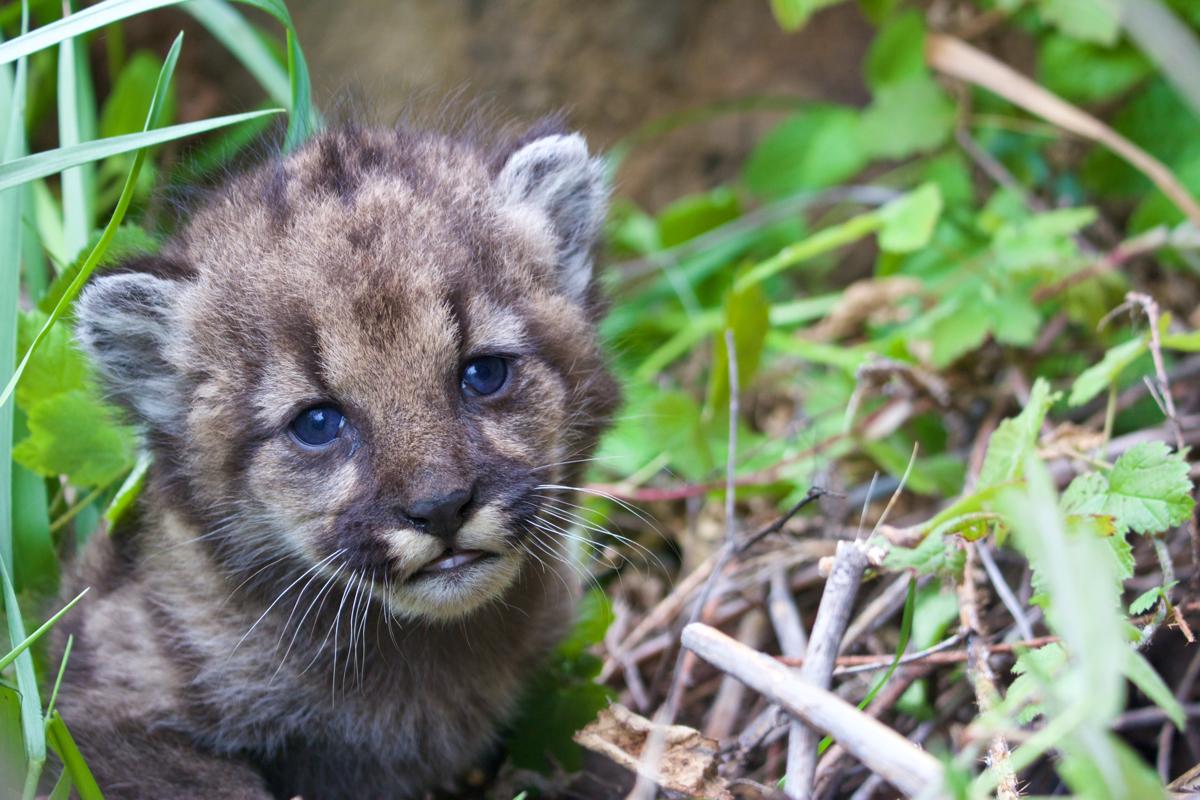 P 54 Mountain Lion Kitten, Santa Monica Mountains National Recreation Area. Credit: National Park Service.